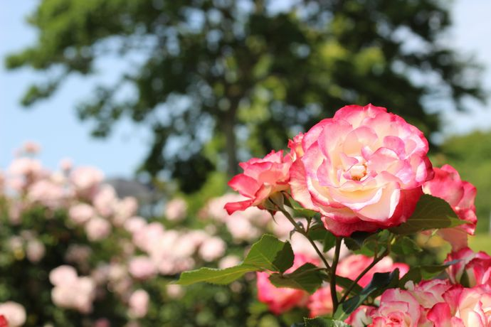 はなまつりが終わってもまだまだ見ごろ!錦江湾公園のバラを見に行こう!