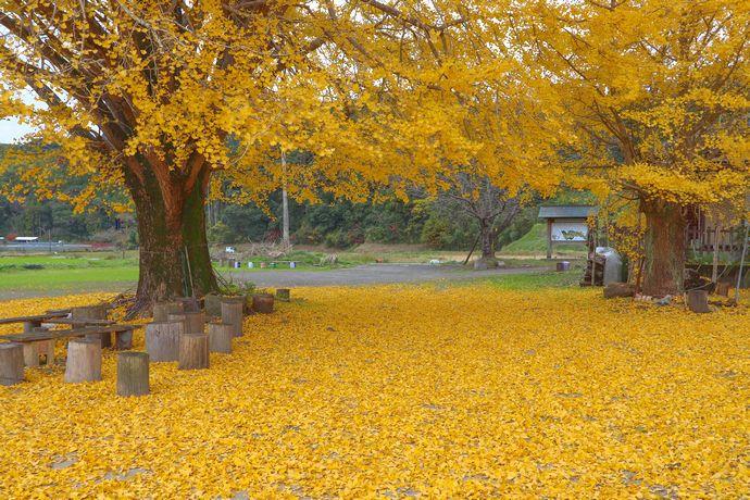 【肝付町】本城の大銀杏(イチョウ)と黄色い絨毯