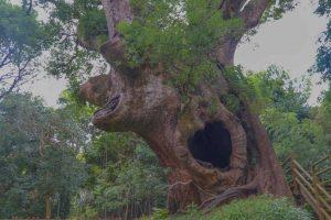 【肝付町】塚崎の大楠:円墳の上に生育する樹齢1300年以上ともいわれる大木