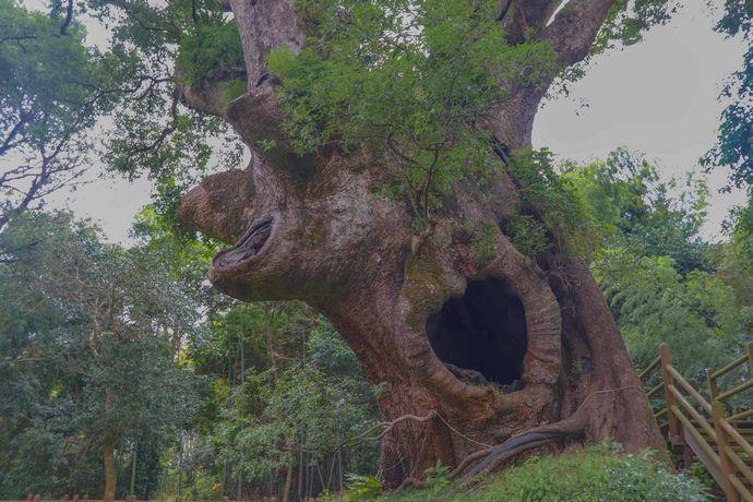 【肝付町】塚崎の大クス:円墳の上に生育する樹齢1300年以上ともいわれる大木