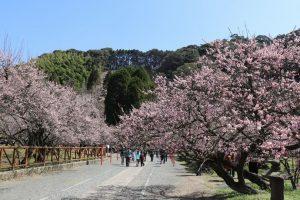 【薩摩川内市】菅原神社:藤川天神と臥龍梅 鹿児島を代表する春の名所へ