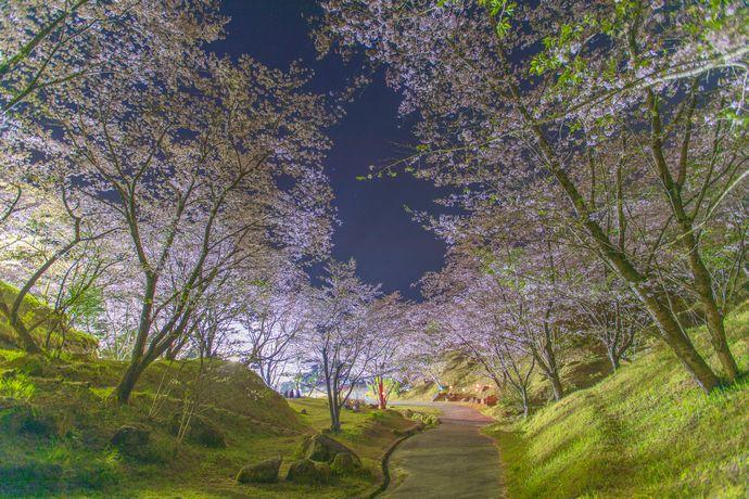 いちき串木野市の観音ヶ池で夜桜を楽しむ
