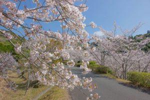 【いちき串木野市】観音ヶ池市民の森:県推奨の「森林浴の森」70選の千本桜と春の時間