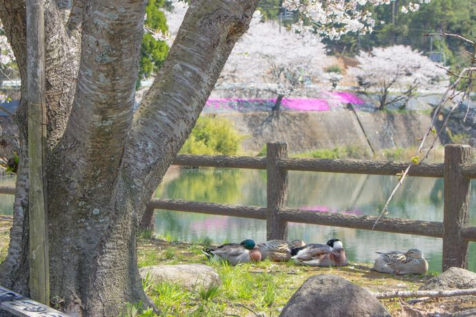 【日置市】内之田池と安産岩:のどかなため池で過ごす春の時間