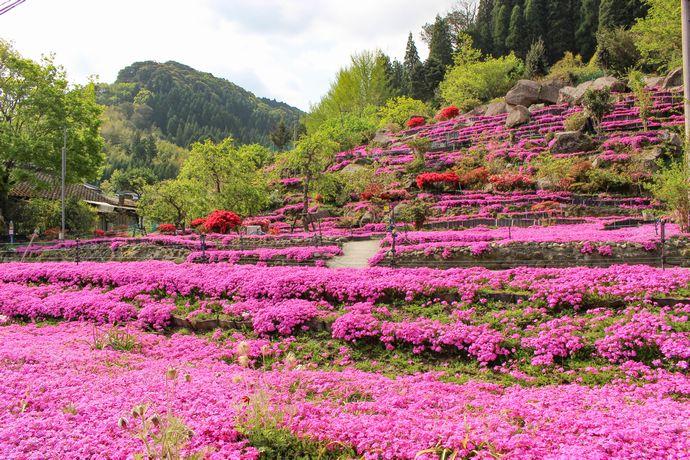 蒲生町にある花の森徳重の芝桜