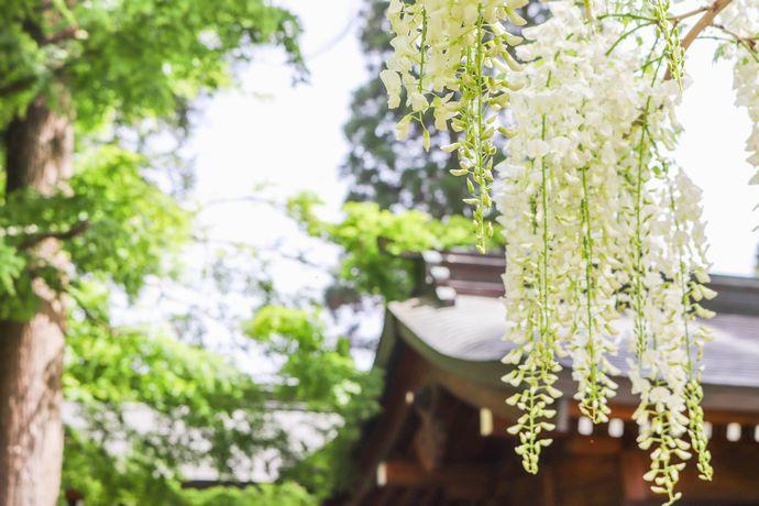 【霧島市】和気公園 藤まつり:鹿児島の藤の名所といえばココ!香りと彩りに癒される春の時間