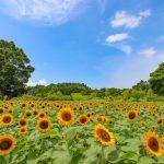 【鹿児島市】都市農業センターのひまわり畑が手加減なしの夏を感じさせてくれた