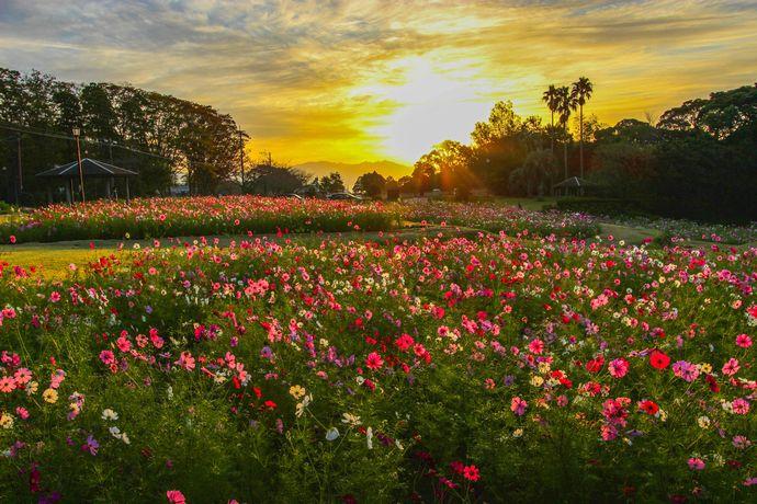 慈眼寺公園のコスモス