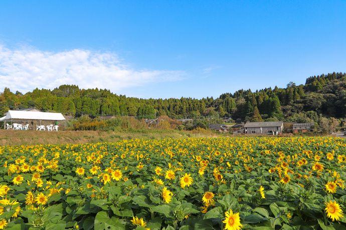 南九州市川辺町大久保集落の皆さんが手掛けた約19万本のヒマワリを楽しむ