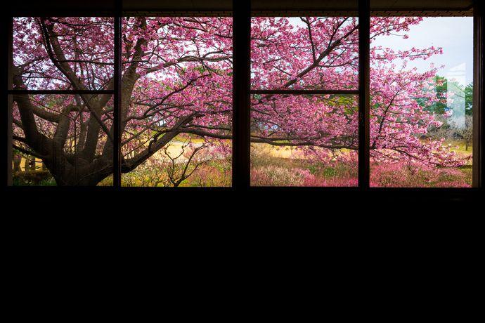 吉野公園の河津桜が綺麗とのことだったので行ってみた