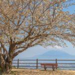 春の指宿スカイラインは須々原展望台にある桜の景色が素晴らしかった