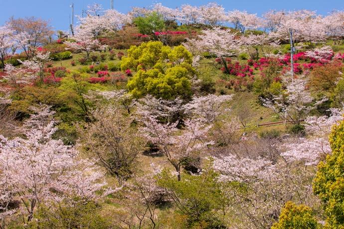 丸岡公園の桜とツツジのお山が素敵だった