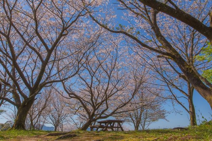 蒲生城跡の桜と蒲生のまちの眺望にいやされて