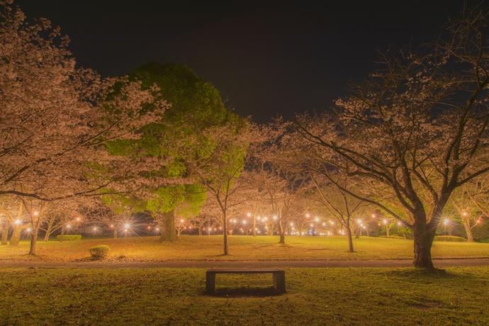 岩屋公園の夜桜や桜のトンネルを訪ねて