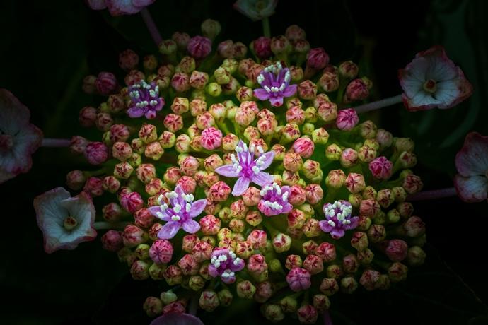 洗川あじさい園:日置市東市来町で人気の紫陽花スポットへ