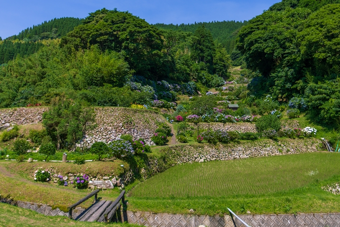 草見の棚田の石垣と紫陽花を眺めに【日置市日吉町】