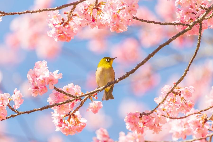 春への変化が感じられる桜見物と野鳥散策に行ってきた