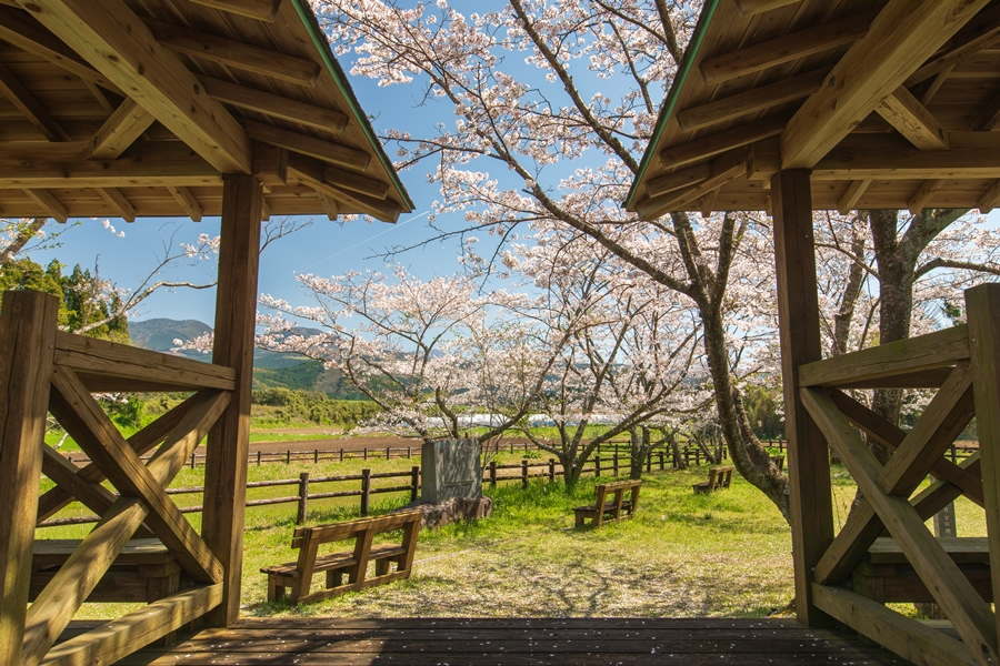 大造じいさんとガンの舞台!三日月池の桜は最高だった!【湧水町】