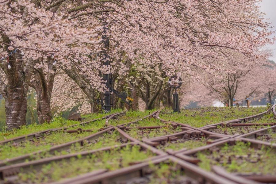 永野鉄道記念館(薩摩永野駅跡):宮之城線の駅跡に植えられた桜とともに