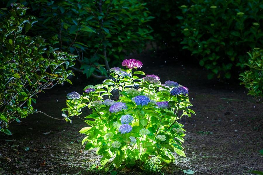 洗川あじさい園:色とりどり多様な紫陽花が咲き誇る紫陽花スポットへ